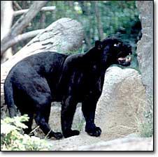 Jaguar_black